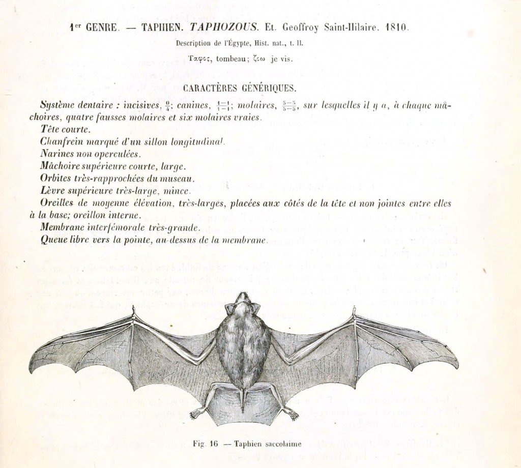 bat illustration