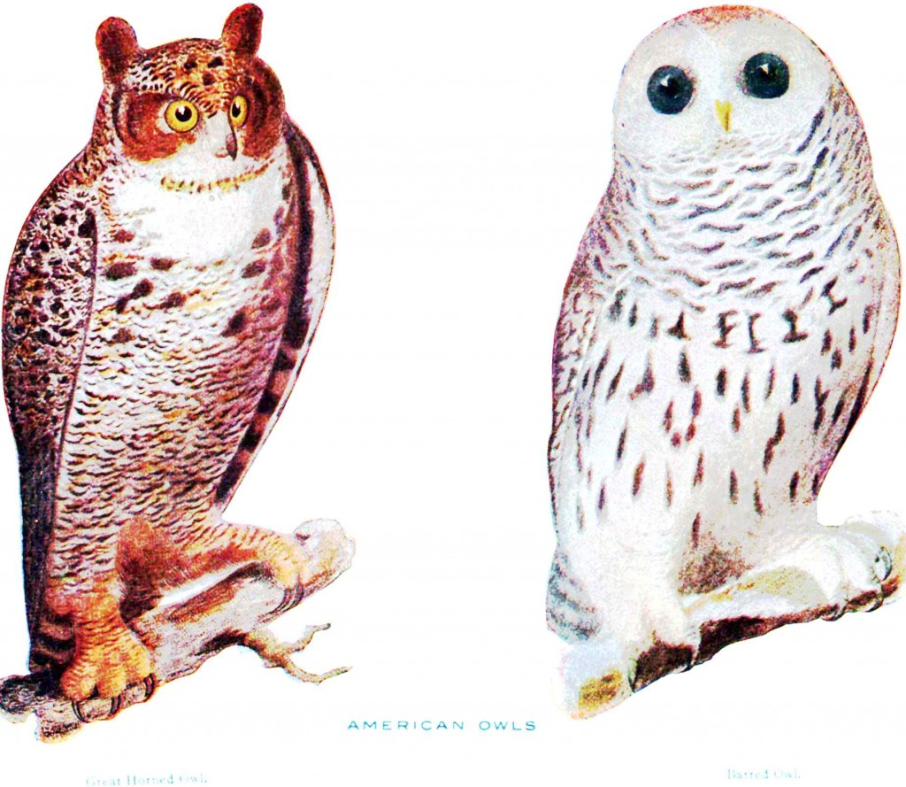 Animal - Bird - American_Owls