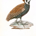 Animal - Bird - French - 1831 -  (14)