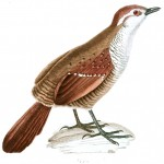 Animal - Bird - French - 1831 -  (15)