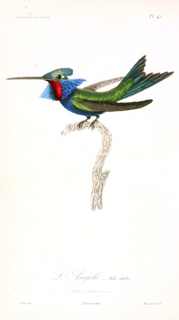 Animal - Bird - French - 1831 - Hummingbird - (2)