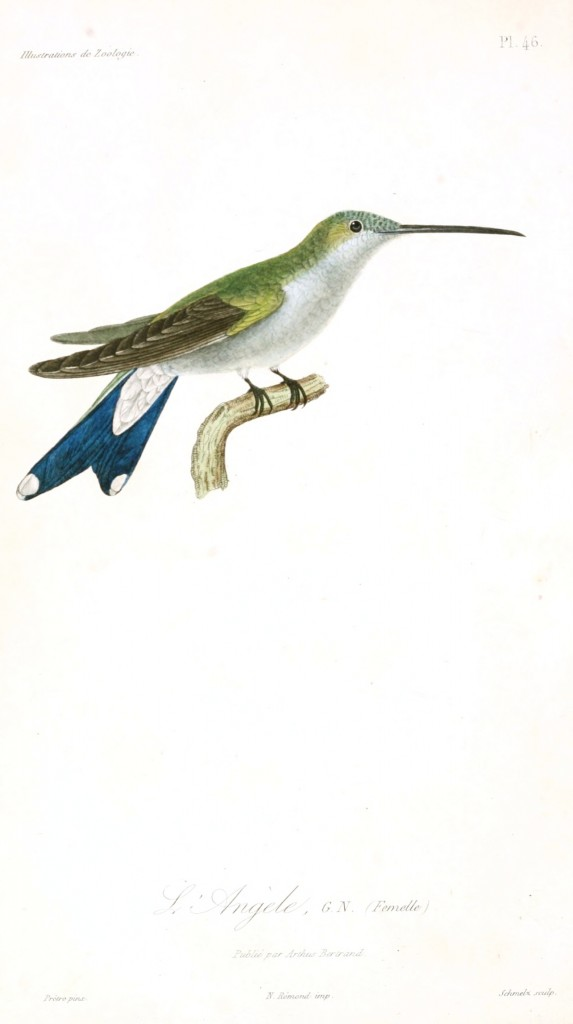 Animal - Bird - French - 1831 - Hummingbird -