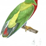 Animal - Bird - French - 1831 - Parrot, green