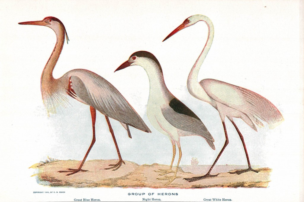 Animal - Bird - Herons
