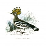 Animal - Bird - Hoopoe