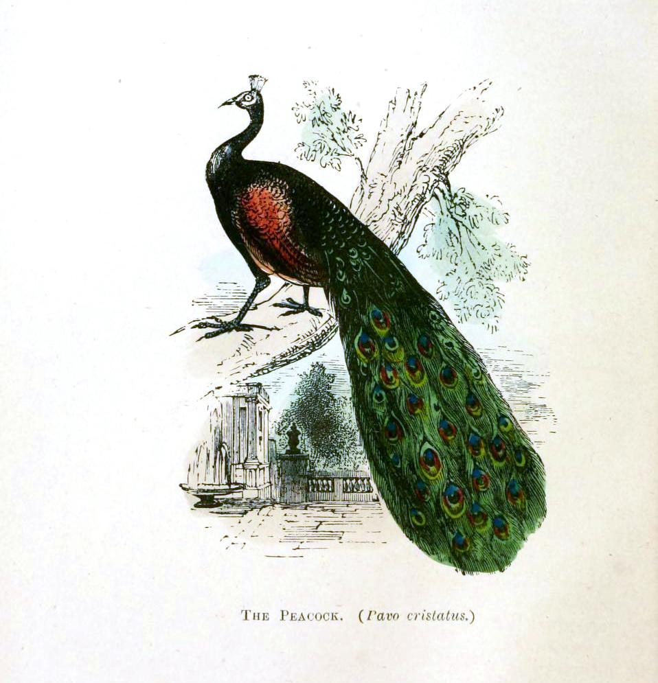 Animal - Bird - Peacock
