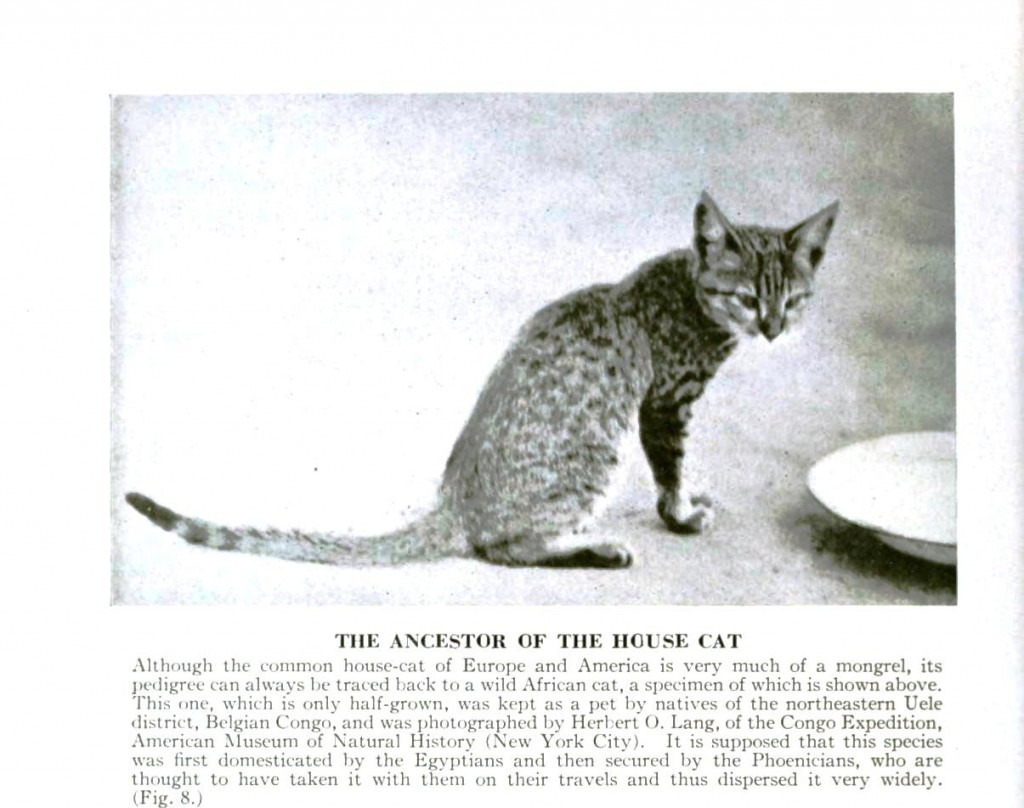 Animal - Cat - Ancestor of the housecat