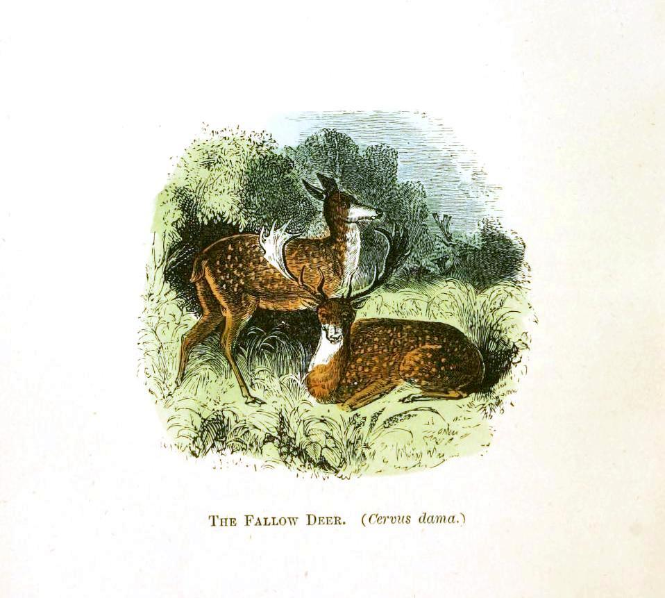 Animal - Deer - Fallow deer