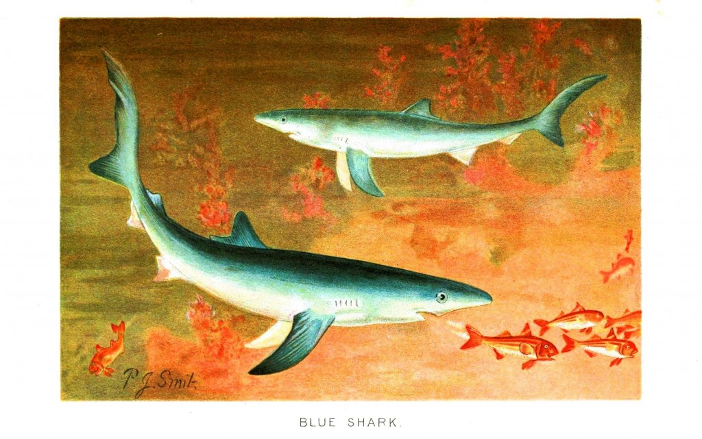 Animal - Fish - Blue shark
