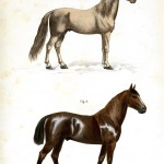 Animal - Horse - Cheva Arabe, Cheval Anglo-Normand