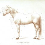 Animal - Horse - Diagram