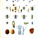 Animal - Insect - Bee - African bee educational plate 2