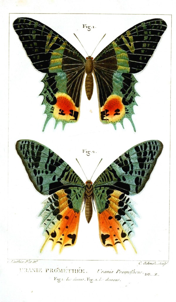 Animal - Insect - Butterfly - Green stripe