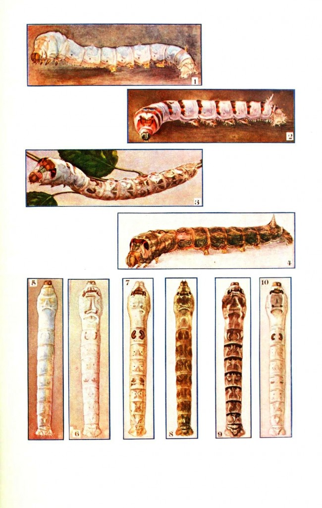 Animal - Insect - Silkworms