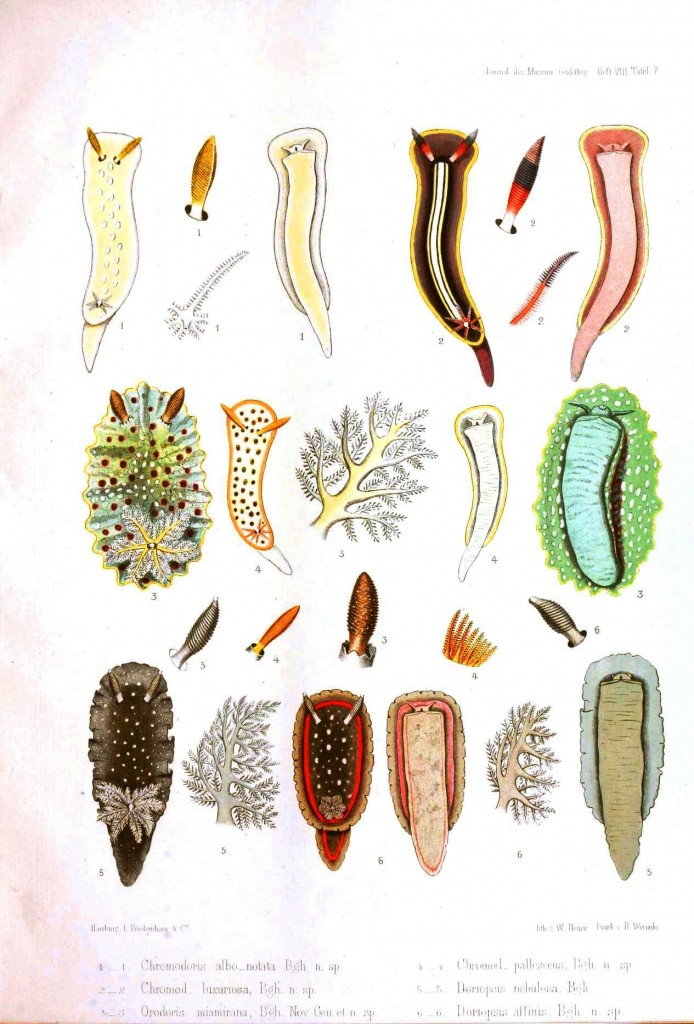 Animal - Nudibranchia - Educational plate 3