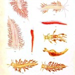 Animal - Nudibranchia - Educational plate 5