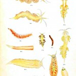 Animal - Nudibranchia - Educational plate 7