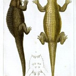 Animal - Reptile - Crocodile de Graves