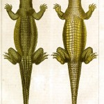 Animal - Reptile - Crocodile