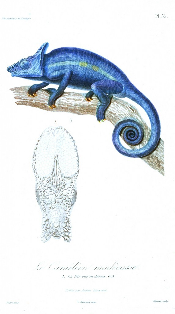 Animal - Reptile - French - 1831 Lizard - (2)
