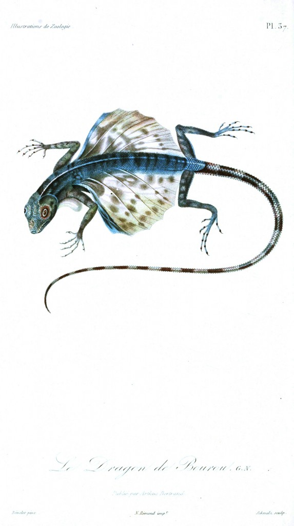 Animal - Reptile - French - 1831 Lizard - (3)
