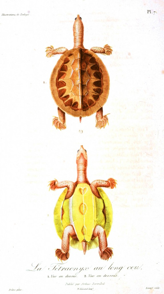 Animal - Reptile - French - 1831 Turtle