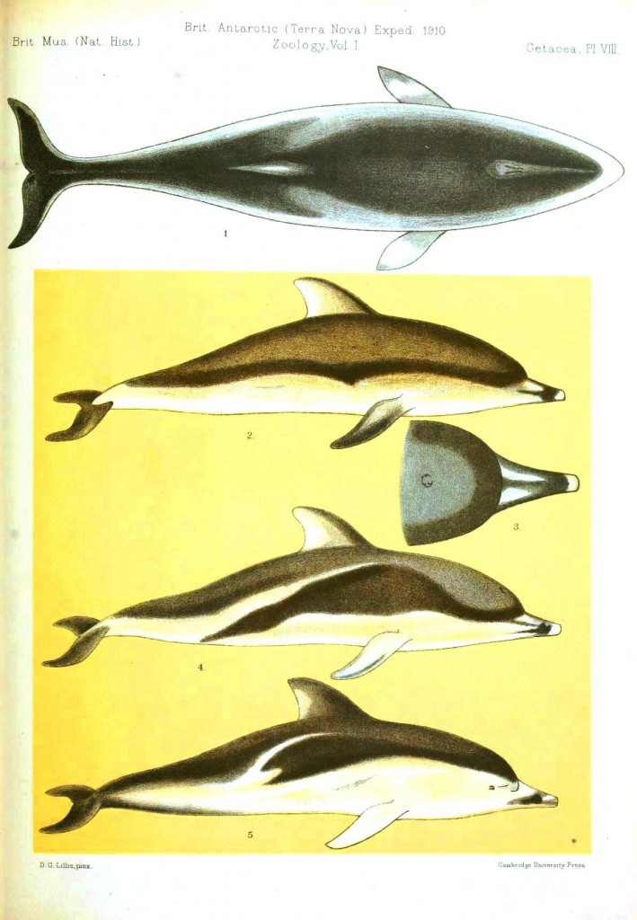 Animal - Sea Mammal - Dolphin