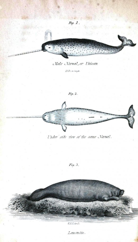 Animal - Sea Mammal - Narwhals and some kind of sea mammal