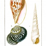 Animal - Sea Shell - Voluta, Volvaria
