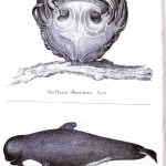 Animal - Sea mammal - Whale - Illustration