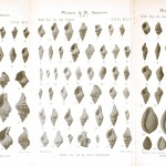 Animal - Sea shell - Shell fossils of the lower Loire valley 2