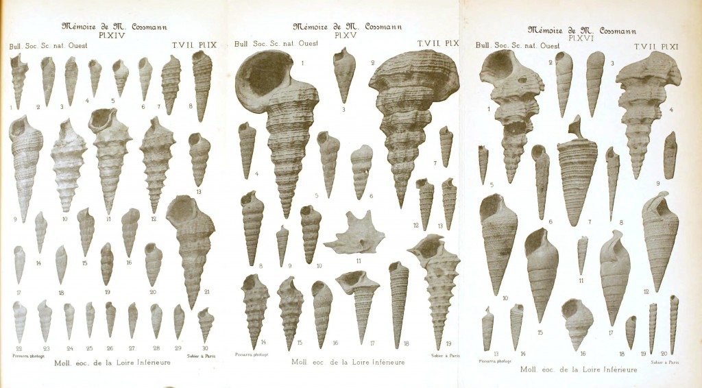 Animal - Sea shell - Shell fossils of the lower Loire valley