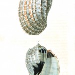 Animal - Seashell - French - 1831 - (14)