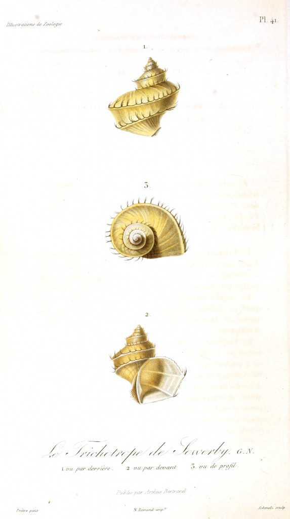 Animal - Seashell - French - 1831 - (17)