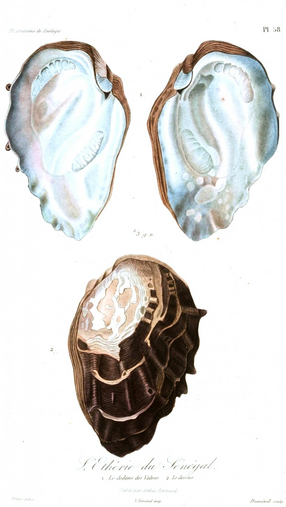 Animal - Seashell - French - 1831 - (23)