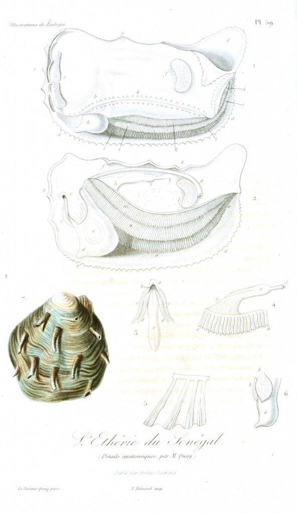 Animal - Seashell - French - 1831 - (24)