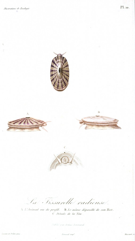 Animal - Seashell - French - 1831 - (4)