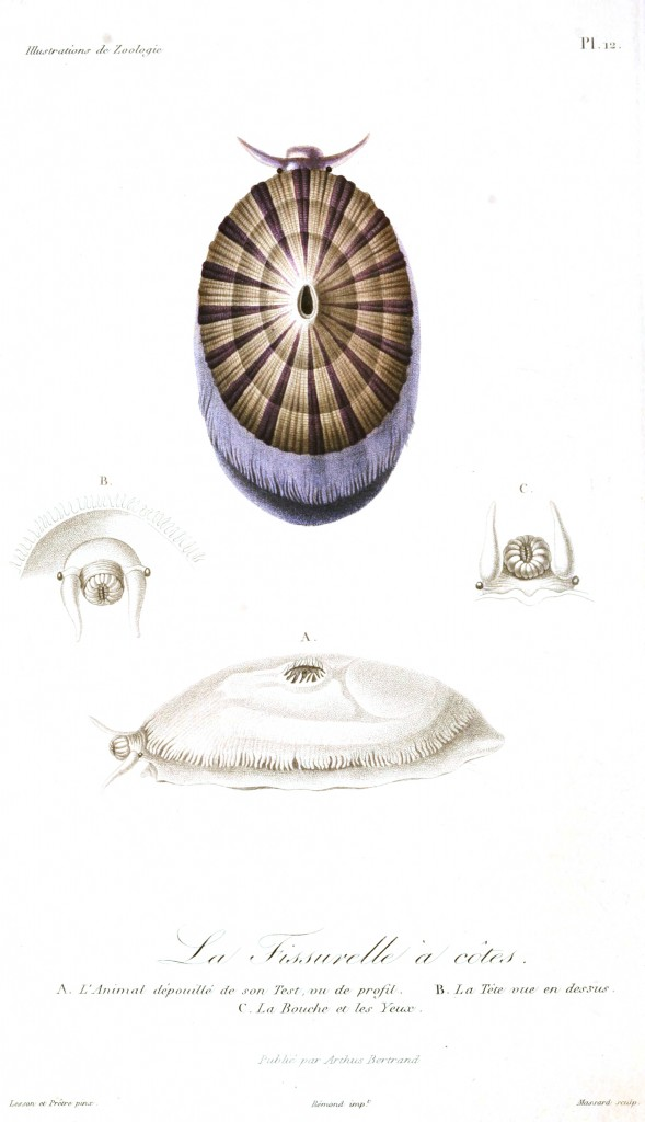 Animal - Seashell - French - 1831 - (5)