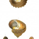 Animal - Seashell - French - 1831 - (7)
