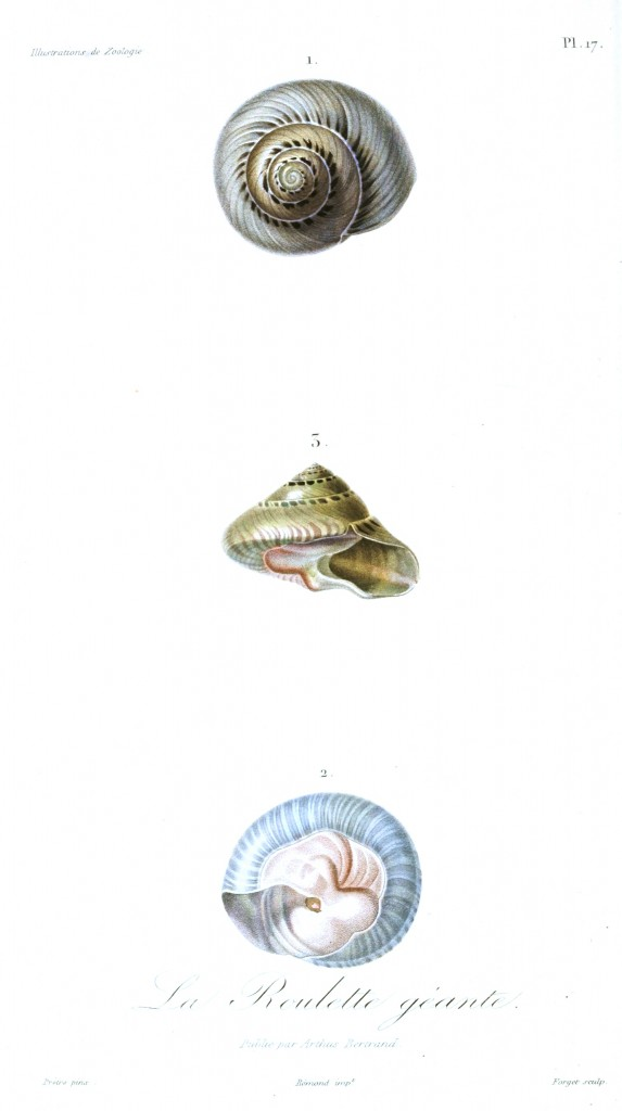 Animal - Seashell - French - 1831 - (8)