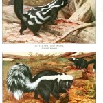 Animal - Woodland - Skunks