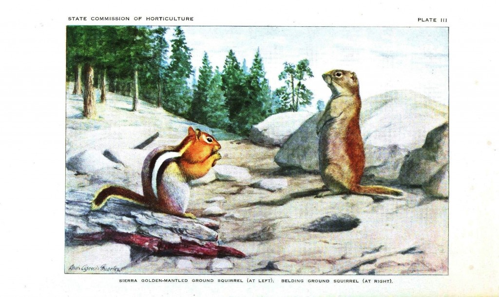 Animal - Woodland - Squirrel - Sierra Golden-Mantled Ground Squirrel