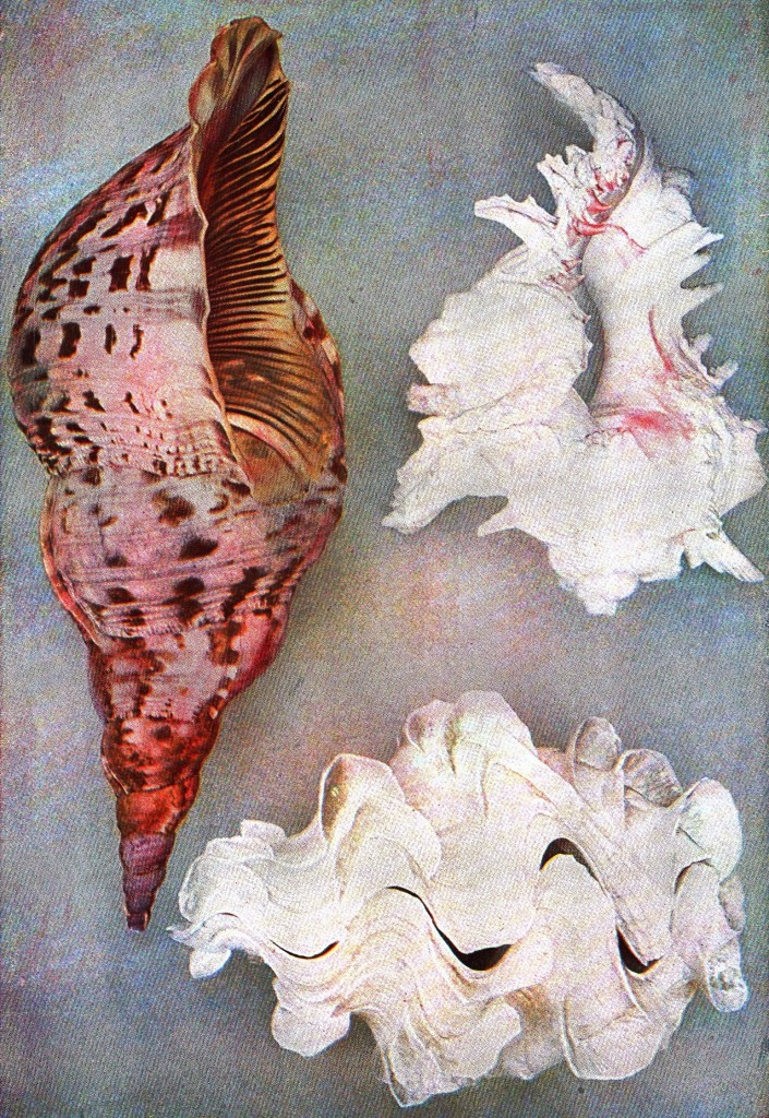 Animal - sea shells - Shells_From_Indian_Ocean