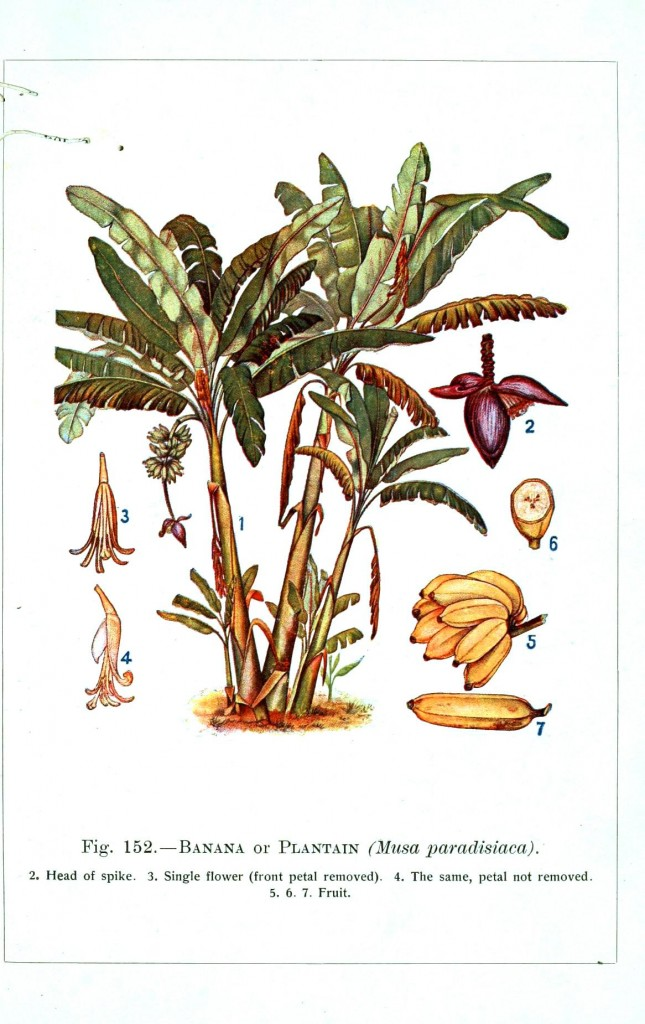 Botanical - Banana - Educational plate