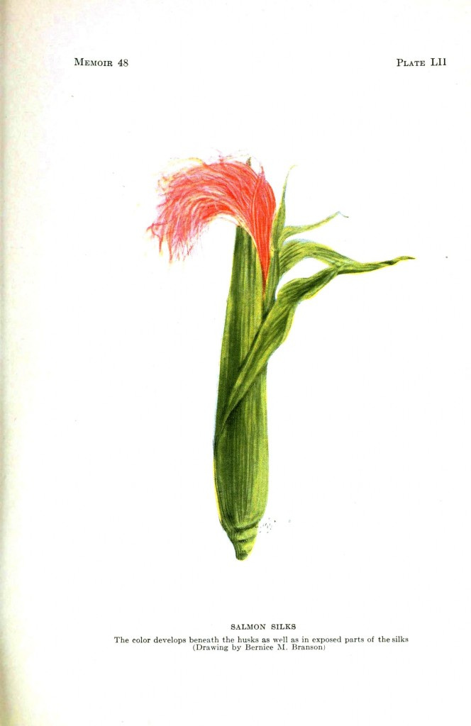 Botanical - Corn - Corn silk genetics salmon 2