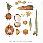 Botanical - Educational Plate - Coconut plant