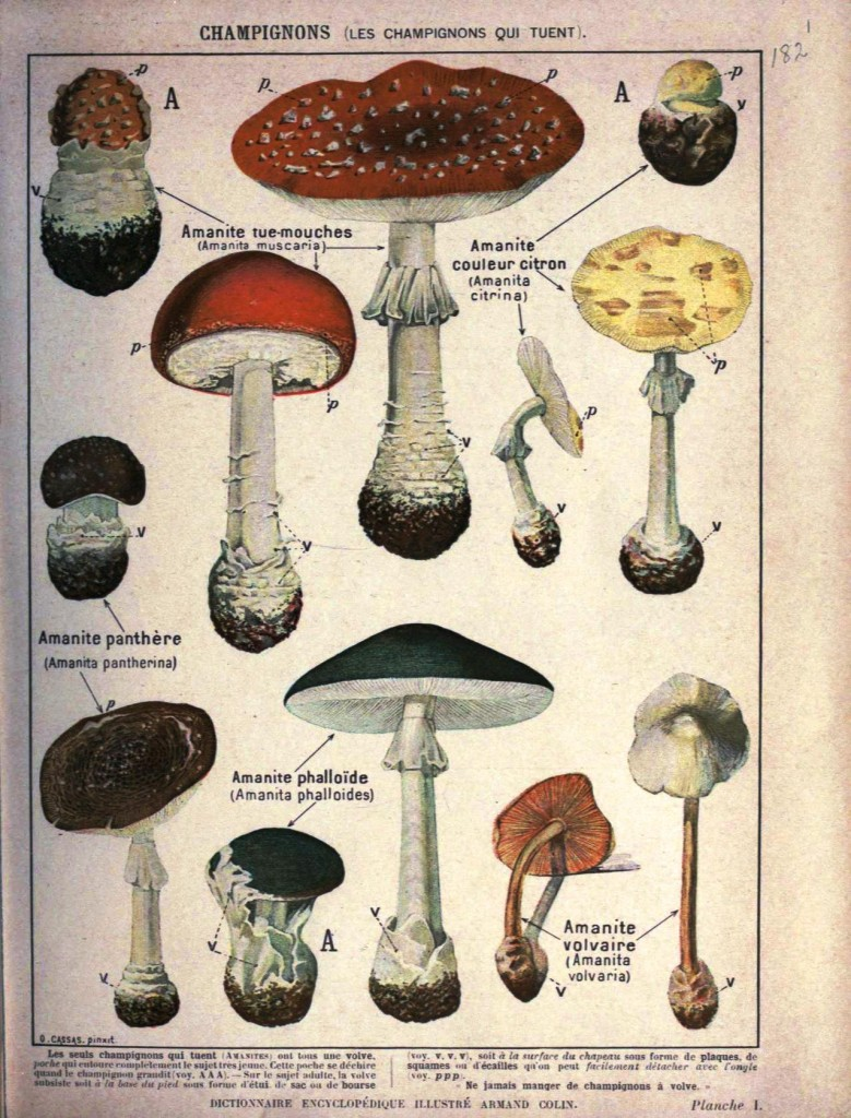Botanical - Educational Plate - Mushrooms - Amanite sp.