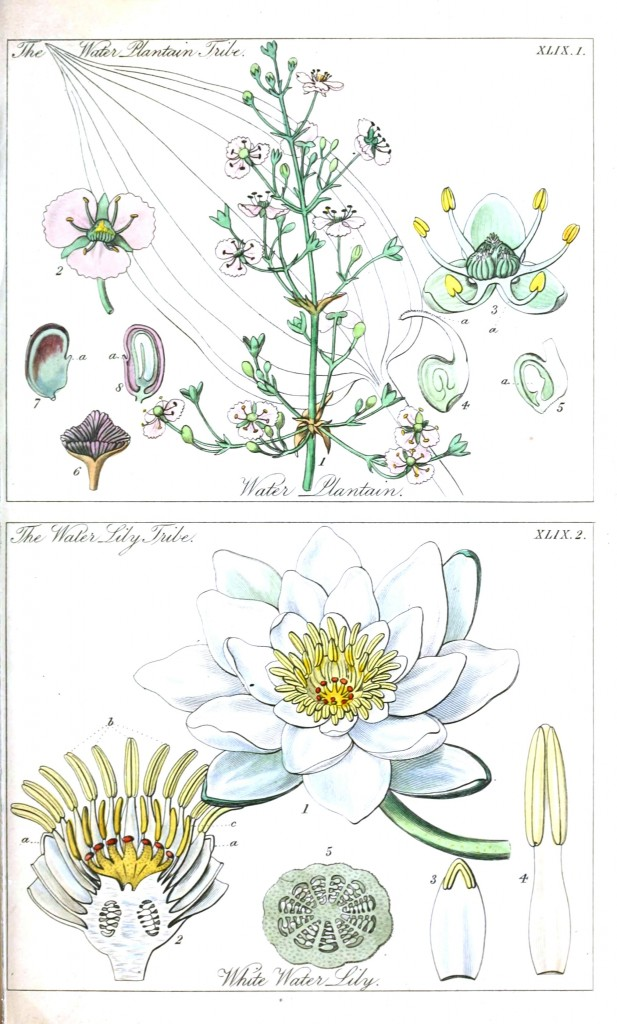 Botanical - Educational plate - Ladies botany - Water lilly
