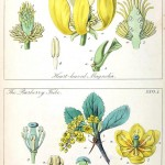 Botanical - Educational plate - Ladies botany 1