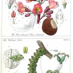 Botanical - Educational plate - Ladies botany 11